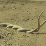 Dos mambas negras macho peleando en la arena