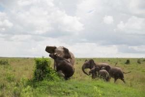 elefante atacando bufalo