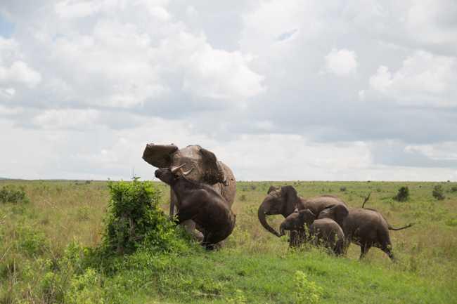 Elefante atacando una manada de bufalos