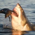 Gran tiburon blanco cazando una joven foca
