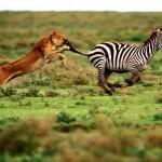 Cebra deja KO a una leona
