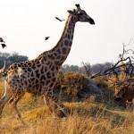 Jirafa mata a su cria protegiendola de los leones
