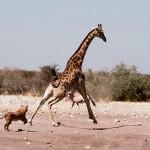 Leonas persiguiendo a una jirafa