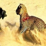 Babuinos frente a guepardos y leopardos
