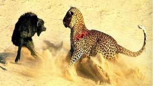 leopardo babuino peleando