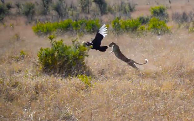 Impresionante leopardo cazando un pajaro (bucerotido)