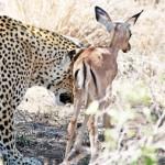 Cuando el leopardo se acosto junto a la cria de impala
