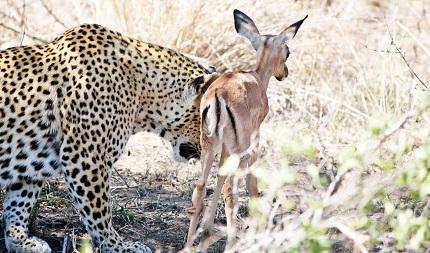 leopardo cria de impala