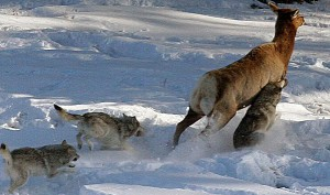 lobos cazando caribu