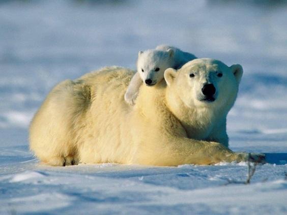 madre oso polar cria