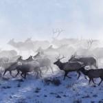 Magica migracion de los renos en EEUU