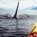 Orcas jugando con piragüistas