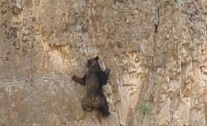 oso escalador