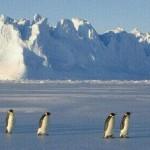 Pingüinos patinando en el hielo