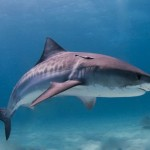 Alimentando tiburones tigre (GoPro)