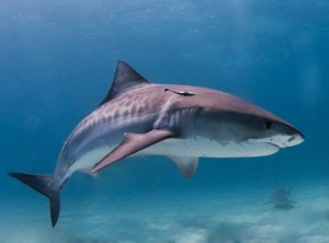 tiburon tigre