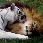 Leona ayuda a una tigresa a cuidar sus cachorros