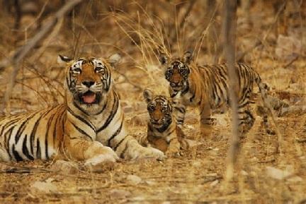 Tigresa y sus cachorros viviendo en un bosque, India