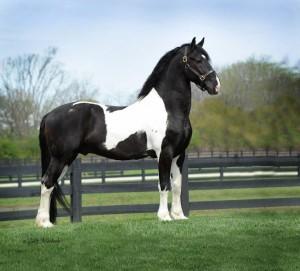 caballo frison blanco y negro
