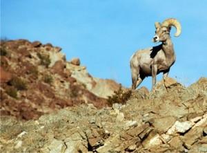 cabra sonora desierto