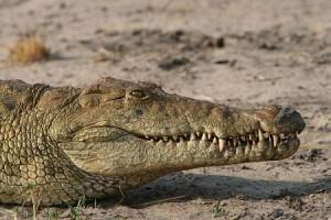 cocodrilo katuma