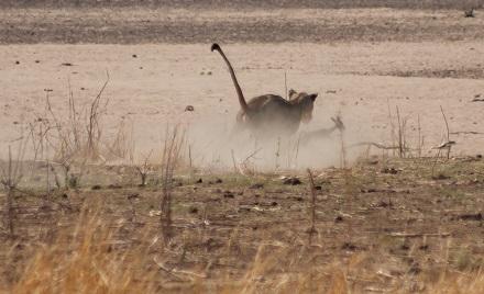 leona cazando impala
