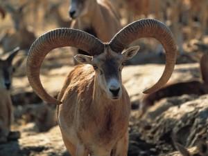 muflon turquia