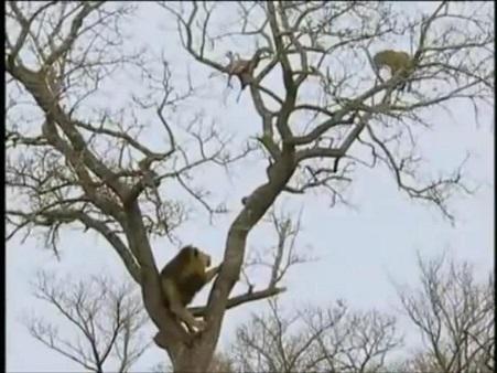 Leopardo, 3 guerpados, 3 leonas y 3 leones