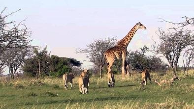Leonas cazando cria de jirafa en Kruger