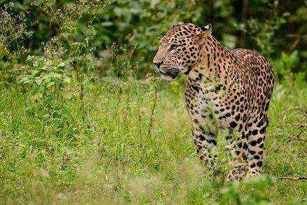 Leopardo y mangosta jugando al gato y el raton