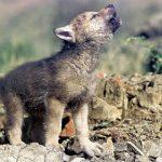 Jovenes lobos grabados con coche-camara (BBC)