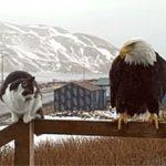 Gato y aguila en la barandilla del porche de Alaska