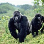 El viaje de Justin Hall al encuentro de gorilas