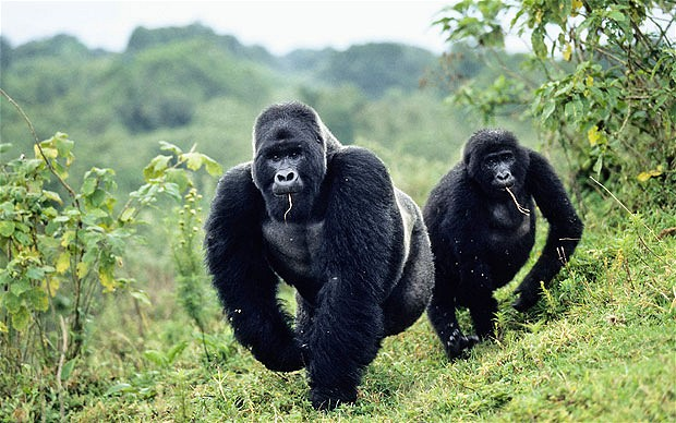 gorilas congo