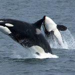 Orcas surfeando tras una lancha motora