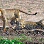 Leonas robando un impala a un leopardo en Kruger