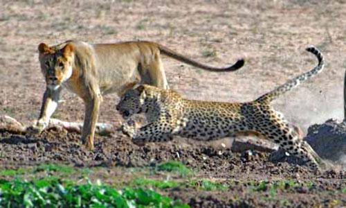 leona leopardo