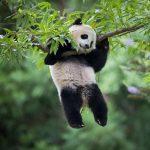 Oso panda atascado en un arbol