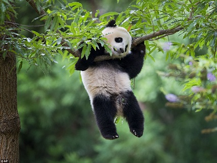 oso panda arbol