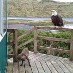 2 zorros, Mr Aguila y un gato en el porche de Alaska