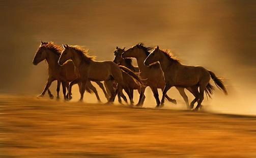 caballos-mustangos-salvajes-cabalgando-libres