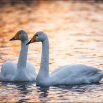 Dos cisnes piden ayuda a unos hombres