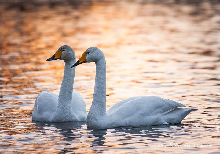 dos-cisnes