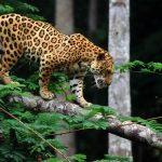 Jaguar volando para cazar un caiman en Brasil