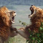 Leones peleando hasta la muerte