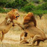 Dos leones peleando en Idube