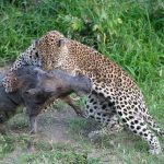 Leopardos cazando jabalies