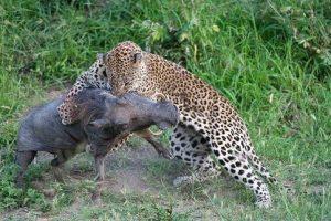 leopardo-cazando-jabali