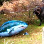 Muflon airado contra el tiburon