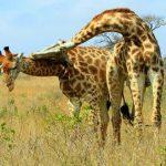 Brutal pelea de jirafas en Idube